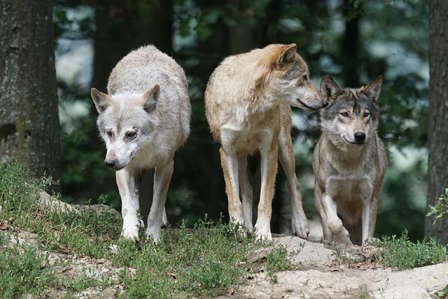 Vlky a psy zdieľajú zmysel pre férovosť